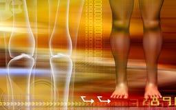 Human leg bone with leg Stock Image