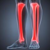 Human Leg Joint Pains (Tibia and Fibula joints). 3D Illustration of Human Leg Joint Pains (Tibia and Fibula joints Royalty Free Stock Image