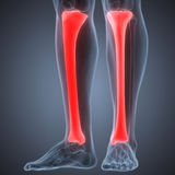 Human Leg Joint Pains (Tibia joints). 3D Illustration of Human Leg Joint Pains (Tibia joints Royalty Free Stock Image