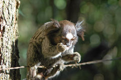 Human like little monkey marmoset eating with one hand Royalty Free Stock Photography