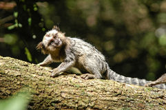 Human like little monkey marmoset looking sideways from a tree trunk Stock Photography