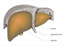 Human Liver Stock Photos
