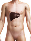 Human liver Stock Images