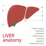 Human liver Royalty Free Stock Images