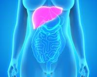 Human Liver Anatomy Royalty Free Stock Photos