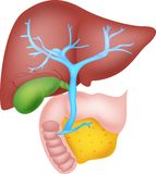 Human liver anatomy. Ilustration of human liver anatomy stock illustration