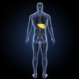 Human Liver with circulatory system posterior view Royalty Free Stock Image