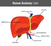 Human Liver detailed anatomy. Vector Medical Royalty Free Stock Photo
