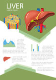 Human liver infographic. Poster with chart, diagram and icon. Liver lobes anatomy. Liver medical science infographic with chart, diagram. Vector liver anatomy stock illustration
