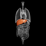 Human liver organ with interior view royalty free illustration