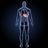 Human Liver with organs posterior view Stock Photography