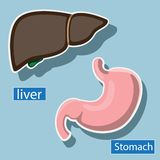 Human liver and stomach are anatomical.  image vector illustration