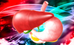 Human liver and stomach Stock Photo