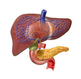 Human Liver system cutaway. With Pancreas, Duodeno, Gallbladder, Veins and Arterias. On white background with clipping path included Stock Image