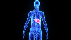 Human Liver. Weighing in at around 3 pounds, the liver is the body's second largest organ; only the skin is larger and heavier. The liver performs many