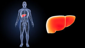 Human Liver zoom with anatomy anterior view. The liver is a vital organ of the digestive system present in vertebrates and some other animals. It has a wide Royalty Free Illustration