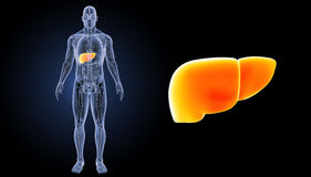 Human Liver zoom with anatomy anterior view Royalty Free Stock Photography