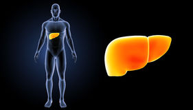 Human Liver zoom with body anterior view. The liver is a vital organ of the digestive system present in vertebrates and some other animals. It has a wide range Royalty Free Stock Images
