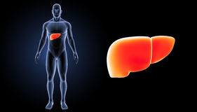 Human Liver zoom with body anterior view. The liver is a vital organ of the digestive system present in vertebrates and some other animals. It has a wide range Stock Image