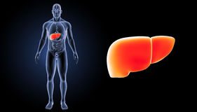 Human Liver zoom with organs anterior view Royalty Free Stock Photo