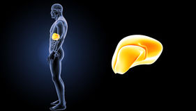 Human Liver zoom with organs lateral view Royalty Free Stock Photos