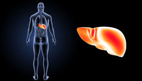 Human Liver zoom with organs posterior view Royalty Free Stock Images