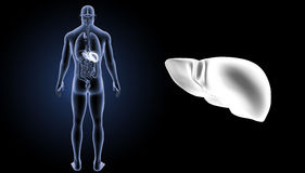 Human Liver zoom with organs posterior view Royalty Free Stock Photo