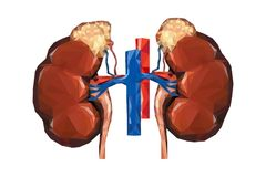 Human low poly kidneys with vein and aorta, suprarenal adrenal  Royalty Free Stock Images
