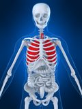 Human lung. 3d rendered anatomy illustration of a human skeleton with highlighted lung Royalty Free Stock Images