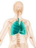 Human lung Stock Photography