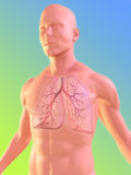 Human lung. 3d rendered anatomy illustration of a male body with lung and bronchi Royalty Free Stock Photos