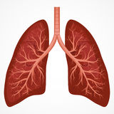 Human Lung anatomy diagram Stock Photo