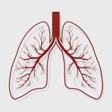 Human Lung anatomy illustration Royalty Free Stock Image