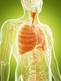 The human lung Stock Photo