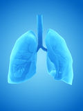 The human lung. 3d rendered illustration of the human lung Royalty Free Stock Image