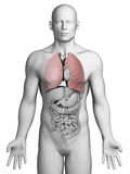 Human lung. 3d rendered illustration - male lung Royalty Free Stock Photo