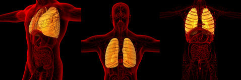 Human lung. 3d rendering medical illustration of the human lung Stock Photos