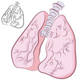 Human Lung Set Royalty Free Stock Photography