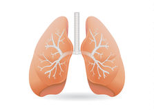 Human lung vector. Stock Image