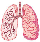 Human lungs Stock Illustration