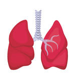 Human lungs Stock Image