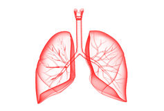 Human lungs Stock Photos
