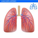 Human lungs anatomy with artery, circulatory system realistic illustration front view in detail. Lunge exercise. Right and left lu. Ng with trachea. Healthy lung Stock Image