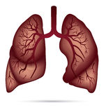 Human lungs anatomy for asthma, tuberculosis, pneumonia. Lung ca. Ncer diagram in detail illustration. Breathing or respiratory system. Vector Royalty Free Stock Photo