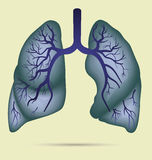 Human lungs anatomy for asthma, tuberculosis, pneumonia. Lung ca. Ncer diagram in detail illustration. Breathing or respiratory system. Vector Stock Images
