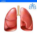 Human lungs anatomy realistic illustration front view in detail. Lunge exercise. Right and left lung with trachea. Healthy lung. R. Espiratory system Stock Image