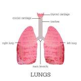 Human lungs anatomy. Royalty Free Stock Image