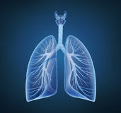 Human lungs and bronchi. In x-ray view Stock Image