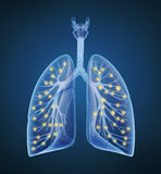 Human lungs and bronchi and oxygen in x-ray view Stock Photos