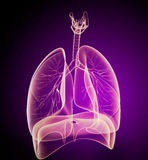 Human lungs and bronchi in x-ray view. 3d image Royalty Free Stock Photography